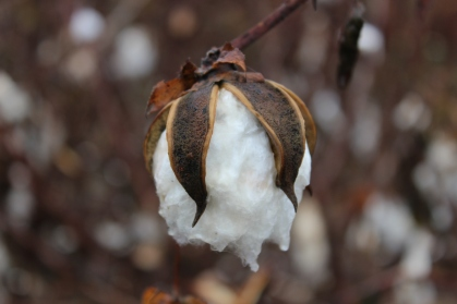 Cotton_boll_nearly_ready_for_harvest