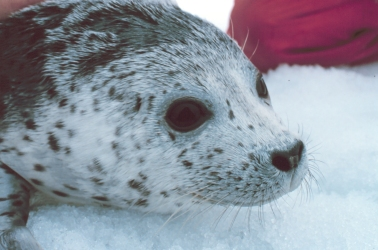 huctheson_lessonplan_spottedseal_NOAA