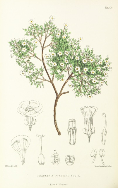 Figure 1. A Botanical Illustration of Frankenia portulacifolia, also known as the St. Helena Tea Plant. Frankenia is the genus and portulacifolia is the species, illustrating binomial nomenclature. The illustration also includes sketches of the reproductive parts of the plant, which were used to classify plant specimens under the Linnaean system. The original Image was extracted from page 308 of St. Helena: a physical, historical, and topographical description of the island ... The botanical plates from original drawings by Mrs. J. C. Melliss, by MELLISS, John Charles. Copied from the Mechanical Curator collection in the British Library's Flickr Collection.